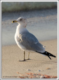 Gulls_D3C_0022.jpg