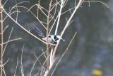 Fairy Wren with bug