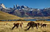 Guanacos del Paine