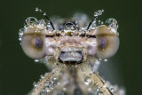 another dewy damselfly