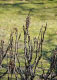 Tree Peony Buds