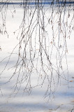 Willow Tree Branches at the Japanese Pond
