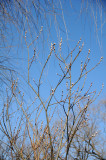 Pussy Willow or Salix