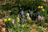 Daffodils & Hyacinths