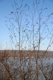 Unknown Tree Buds & Hudson River