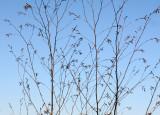 Unknown Tree Buds