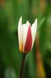 Tulip Blossoms