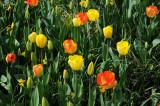 Garden Tulips