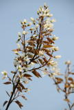 Amelanchier canadensis Blossoms