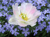 Tulip & Phlox