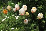 Tulips & Potentilla