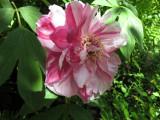 Tree Peony Blossom