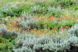 Utah Wildflowers & Uncultavated Plants