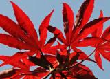 Japanese Red Maple Foliage