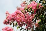 Crepe Myrtle Blossoms