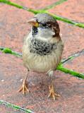 Sparrows - WSV Sasaki Garden