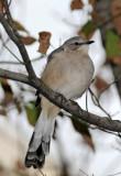Mockingbirds - WSV Sasaki Garden