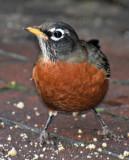 Robins - WSV Sasaki Garden