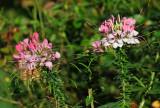 Cleome Blossoms
