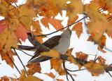 Yellow Billed Cuckoo - Coccyzus americanus