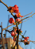 Early Quince Blossoms