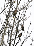 Cedar Waxwing or Bombycilla cedrorum