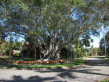 Banyan Tree at Downtown Waterfront Park