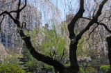 Weeping Cherry, Willow & Pine Trees