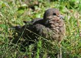 Fledgiing Dove