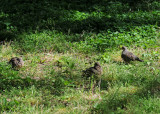 Fledgling Doves