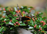 Red Admiral Butterfly