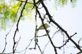Blue-Headed Vireo or Vireo solitarius