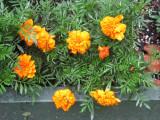 Orange Marigold Blossoms