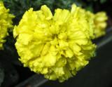Yellow Marigold Blossom