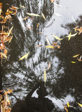 Checking Out a Reflection of Willow & Pine in a Rain Puddle