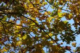 Golden RainTree Foliage