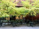 Linden Trees - NYU Library Lane