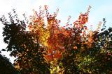 Maple Foliage