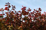 Burning Bush Foliage