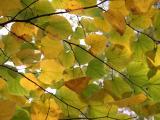 Cercis Foliage