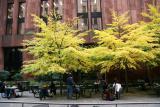 Linden Trees - NYU Library Garden