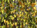 Birch Tree Foliage - NYU Silver Towers Garden