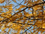 Locust Tree Foliage - NYU Athletic Center