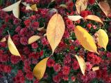 Cherry Foliage on a Bed of Chrysanthemums
