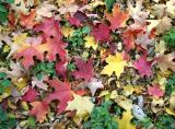 Maple Leaf Ground Foliage