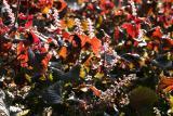 Heuchera or Coral Bells