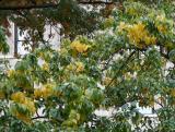 Osage Orange Tree Foliage