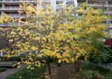 Cercis Trees