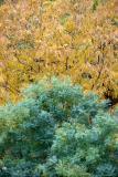 Locust & Scholar Tree Foliage