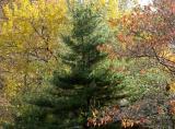 Pine, Mulberry & Dogwood Trees